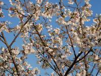 ときの杜『春の足音』夜桜編 - ときの杜『散策日記』(穂の香/ほのか・あや音/あやね・燈いろ/といろ)