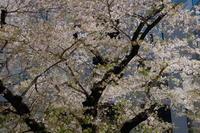 桜 - 錦眼鏡