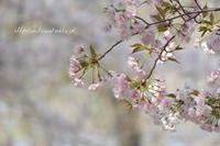 桜の刻 - 一瞬をみつめて