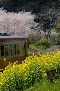 桜の中で・・・ - aya's photo