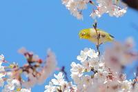 桜とメジロ - 上州自然散策2