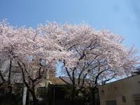 ギリギリ桜 - 69 ROCK YOU ロックユー
