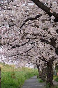 散歩の途中で桜の散歩道 - スポーツカメラマン国分智の散歩の途中で