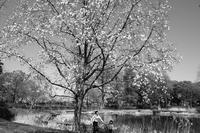 コブシが咲く頃 - summicron