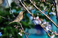桜とハチジョウツグミ - 綾瀬市と周辺の自然
