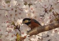 桜鳥 - ちいさな森-mode:κ-