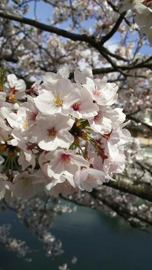 桜 - Tayuxtayu's Blog