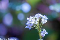 ワサビの花 - harley-katydid