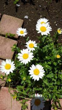ノースポールを移動 - うちの庭の備忘録 green's garden