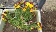 黄色いパンジーを移動 - うちの庭の備忘録 green's garden