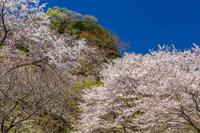 桜@高尾、多摩森林科学園 - デジカメ写真集