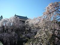 上田城の桜 - AREKORE