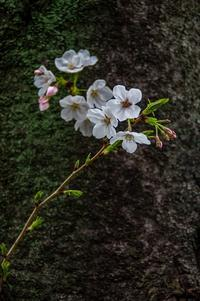 桜 2019年-1 - TW Photoblog