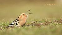 ヤツガシラ - 北の野鳥たち