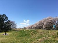 多摩川のサクラがやっと満開 - Seeds Archi-studioのオフタイム