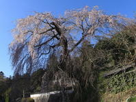 鹿野枝垂桜と金松桜 - 月の沙漠を