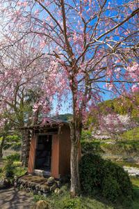 朝比奈川のしだれ桜 - やきつべふぉと