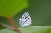 11ミズイロオナガシジミ「蝶図鑑」 - 超蝶