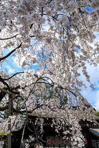 桜咲く京都2019先駆けの桜・魁桜(平野神社) - 花景色-K.W.C. PhotoBlog