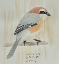 #野鳥スケッチ #ネイチャー・ジャーナル 『百舌』 Lanius bucephalus - スケッチ感察ノート (Nature journal)
