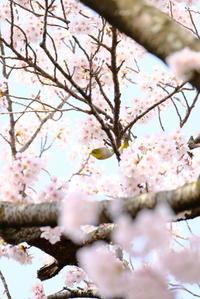 サクラが咲けば野鳥が来る。 - 平凡な日々の中で
