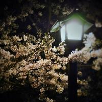 ゴメンナサイの夜桜スナップ(;^ω^) - のーんびり hachisu 日記