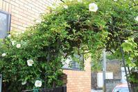 庭のバラが咲き始めました - ステンドグラスルーチェの日常