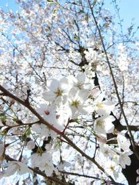 まだまだ桜 - デジカメ持ってING