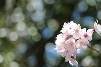 桜がチラチラ - 大阪府池田市 幼児造形教室「はるいろクレヨンのブログ」