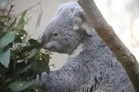 王子動物園のコアラ達 - 山とPANDA