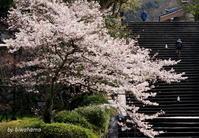 京都桜めぐり知恩院~高台寺へ - 「古都」大津 湖国から