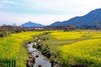 菜の花(上堰潟) - くろちゃんの写真