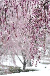 満開の桜と名残雪 「秩父 羊山公園」 - 秩父発 shizuの気まゝなブログ