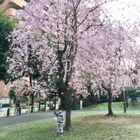 桜状況in光ヶ丘^_^v - ~おざなりholiday's^^v~ <フィルムカメラの写真のブログ>