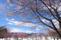 福島の桜2019季節はずれの雪 - In My Life