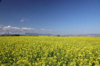 満開の菜の花3月31日 - ratoの山歩き