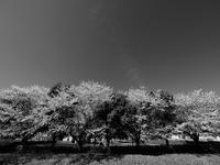 桜咲く土手の上 - 節操のない写真館