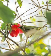 メジロと花 - ゆるゆる野鳥観察日記