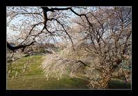 古墳の桜 - Desire