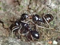 クサアリの仲間 - 写ればおっけー。コンデジで虫写真