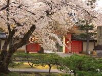 桜めぐり2019~神楽岡~(4/7) - ばってらの放浪季
