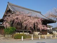 桜めぐり2019~妙満寺~(4/7) - ばってらの放浪季