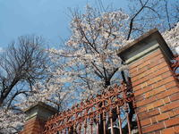 2019京都桜ツアー<鴨川河川敷 七条~松原> - y's 通信 ~季節を彩る風物詩~