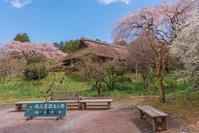 御殿場の春のイベント「御殿場桜まつり」に行ってきました - エーデルワイスPhoto