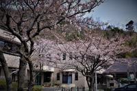 桜 - yosimasaフォトアルバム