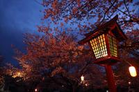 宵桜仄かに照らされて - 風の彩り-2