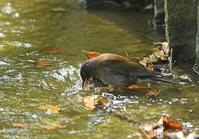 シロハラの水浴び!! - zorbaの野鳥写真と日記