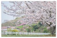 桜日記⑤楽しいシーズン。 - Yuruyuru Photograph