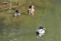 桜舞い散る川辺で・・・ - 鳥と共に日々是好日