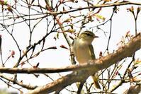 夏鳥飛来・・・センダイムシクイさん - 鳥と共に日々是好日
